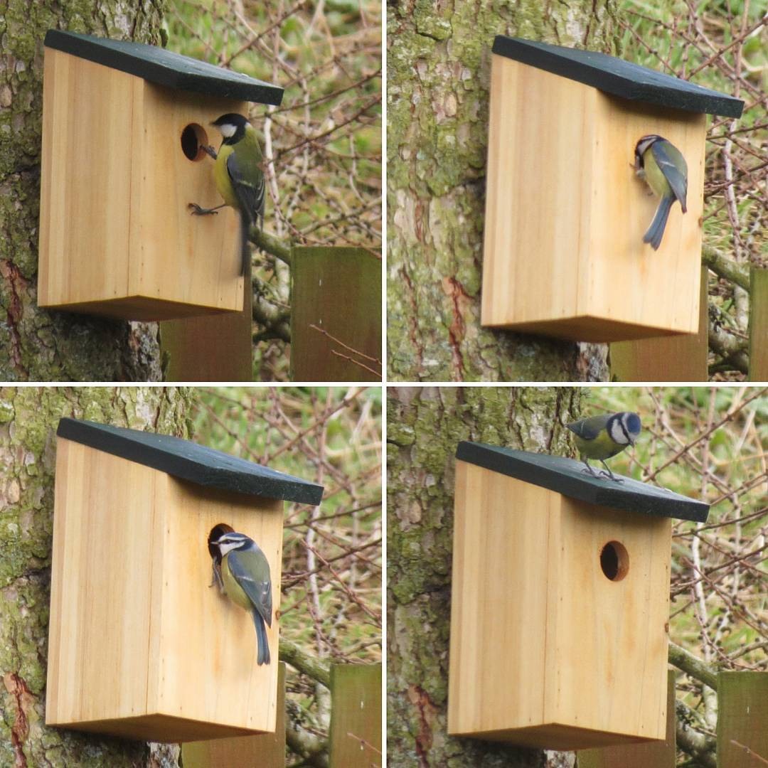blue tit in nest boxes