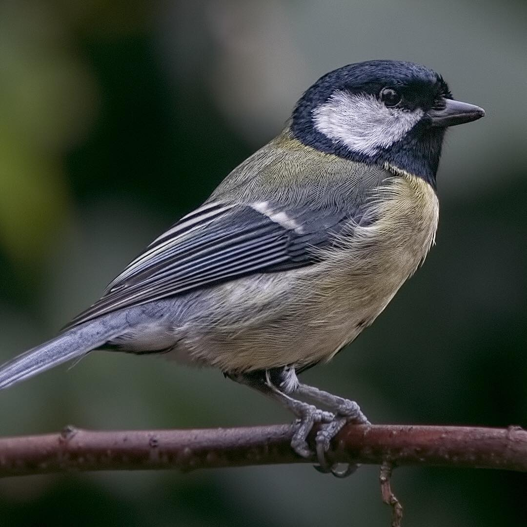 grahamjefferyphoto great tit