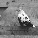 helenlew albino blackbird