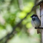 nesting-box-with-house-sparrow