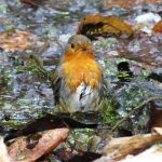 tw1tterpated dripping wet robin