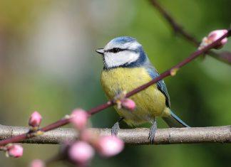 garden-bird-friendly-bluetit-in-spring
