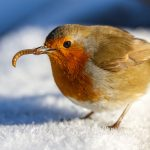 robin-eating-a-mealworm