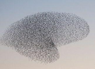 starling-murmuration