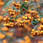yellow-Pyracantha