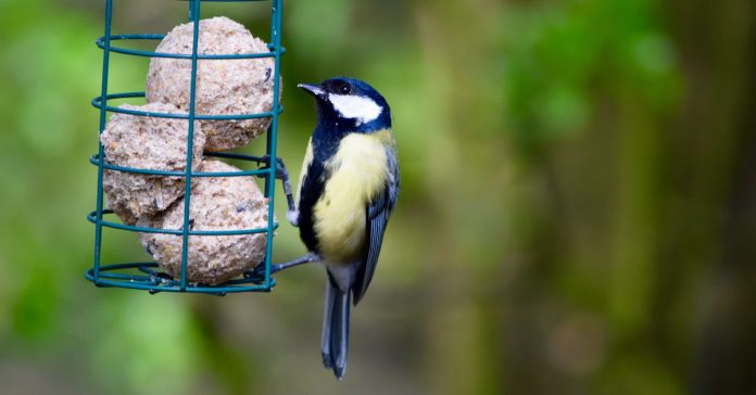 great-tit-with-fat-ball