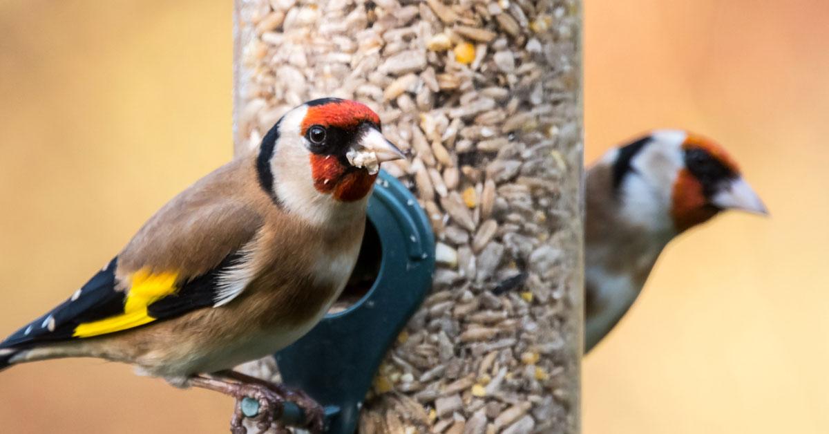 goldfinch feeding on feeder