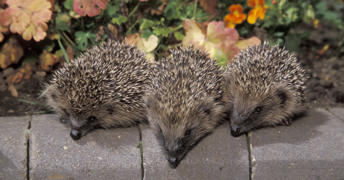 An array of hedgehogs