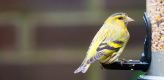 yellow bird sitting on a bird feeder full of sunflower hearts