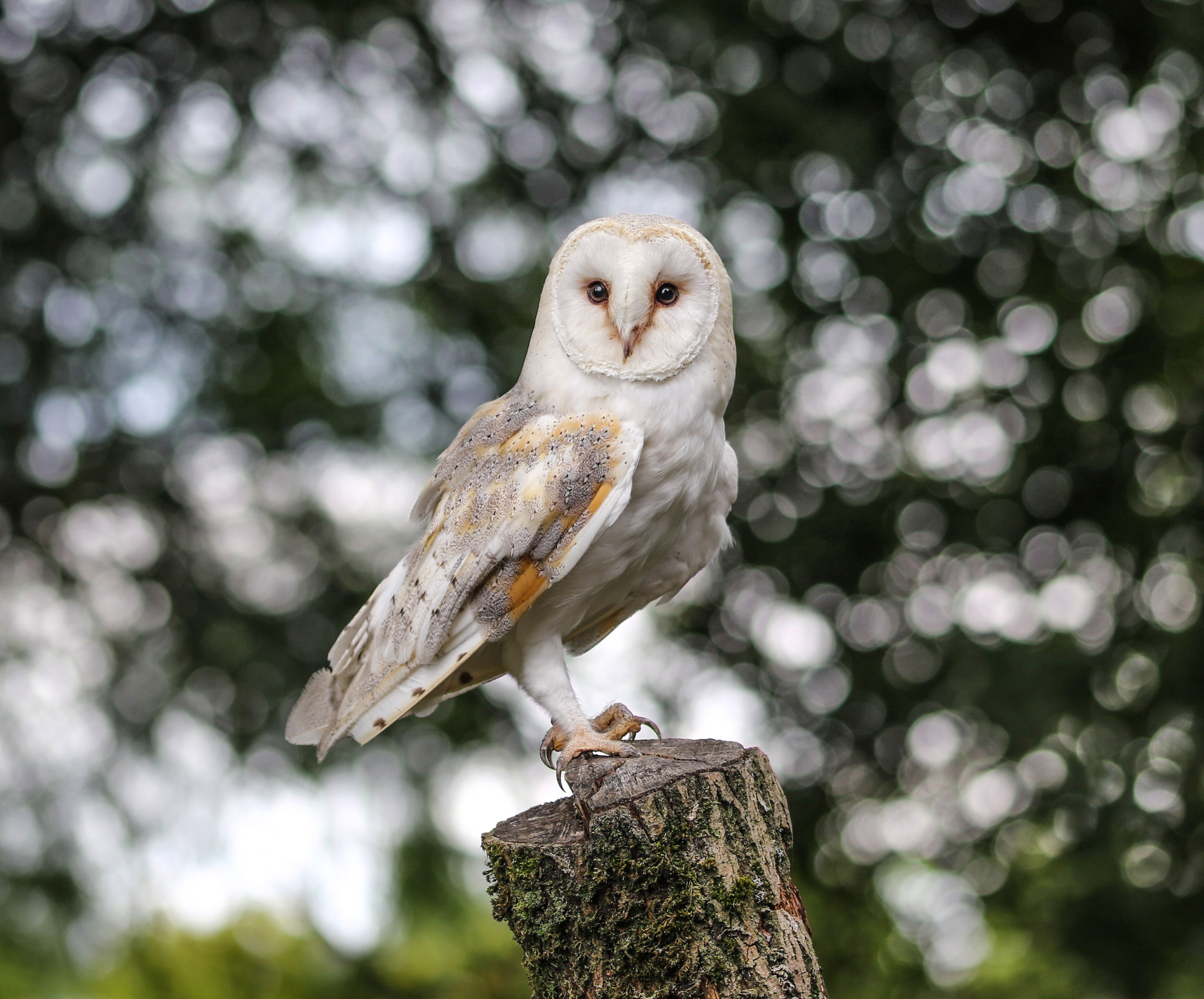 Barn Owl Perching