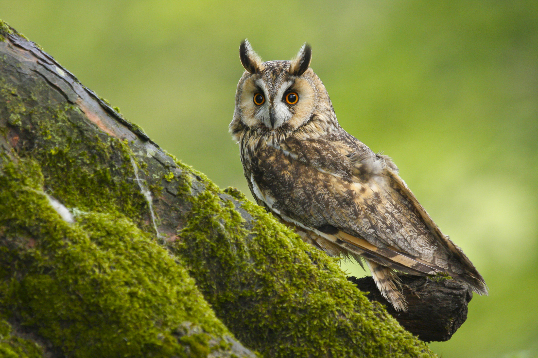 A close up portrait of a Long Eared Owl (asio otus) taken in Wales UK