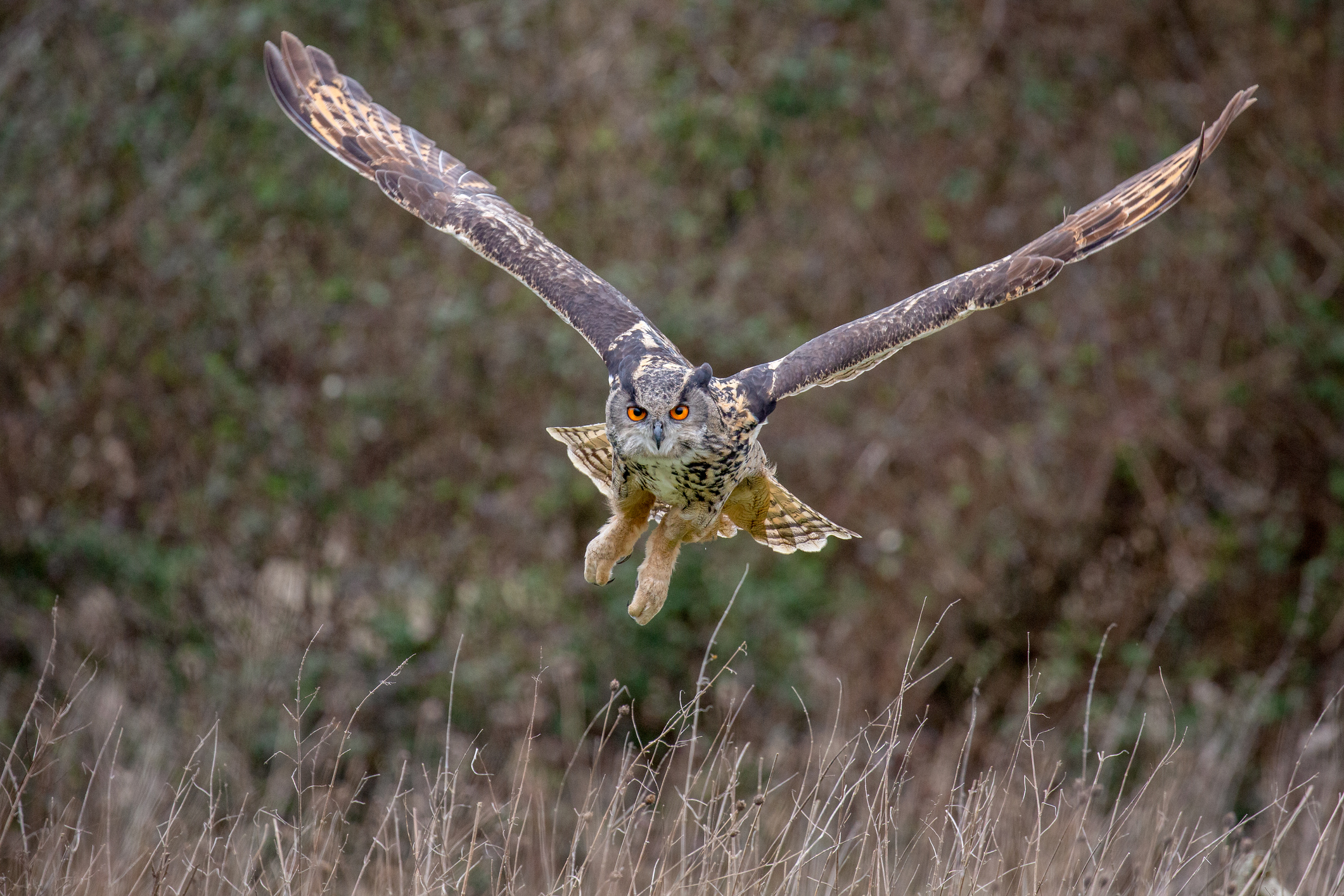 Eurasian Eagle Owl (Bubo bubo) in natural environment, United Kingdom
