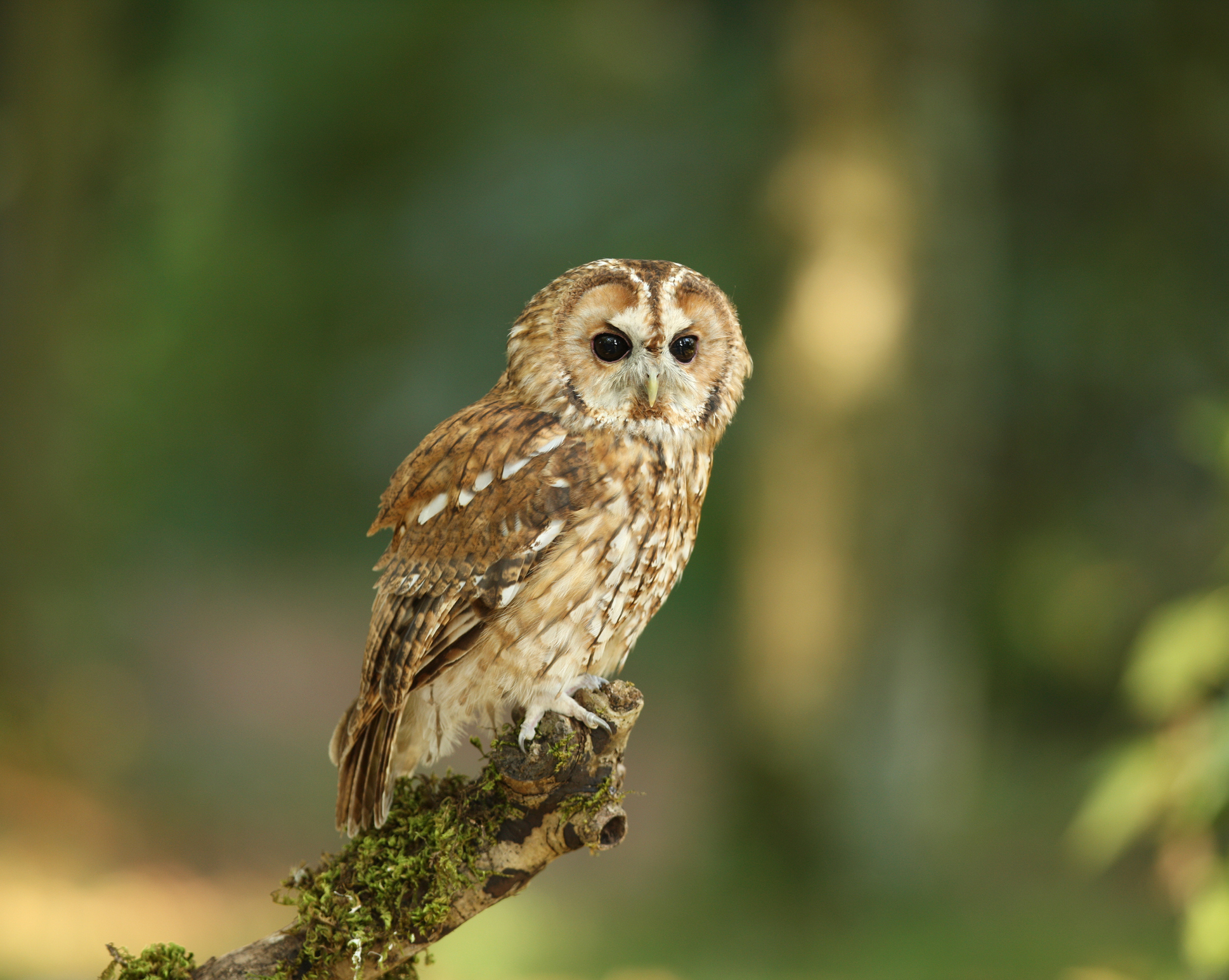 Tawny Owl in woodland