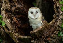 Barn owl in hollow tree