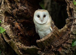 Barn owl in hollow tree