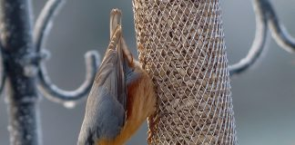 A Nuthatch eating sunflower seeds from a bird feeder on a winter morning