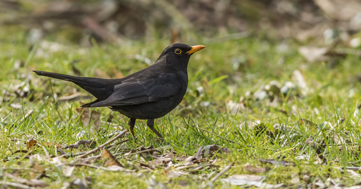 Ground feeding blackbird