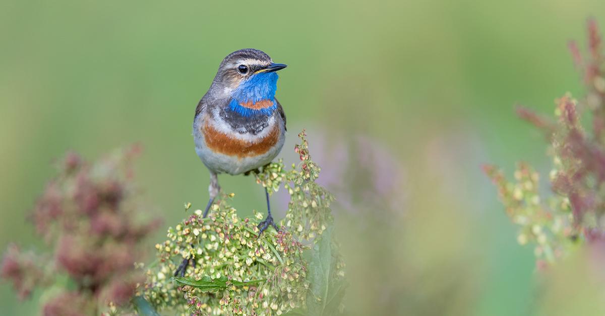 Bluethroat bird
