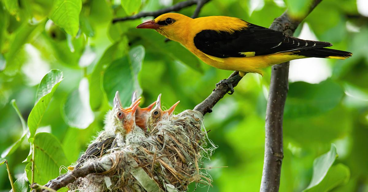 Male golden oriole feeding chicks
