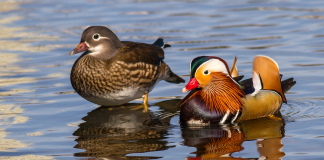 Pair of Mandarin ducks
