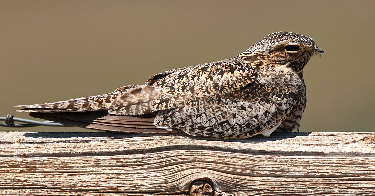 Nightjar camouflaged against a wooden perch