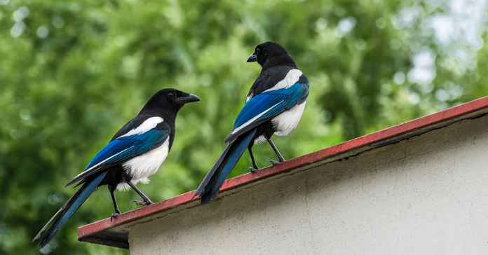 Two magpies perched on a roof