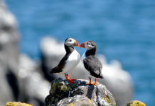 Two puffins perched on a rock