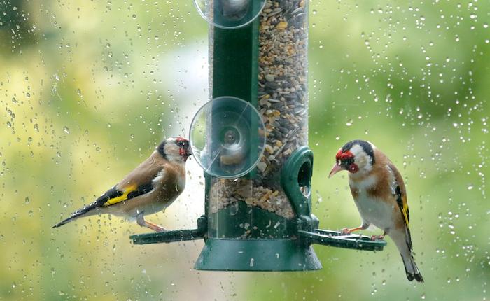 Bullfinches feeding from a window feeder
