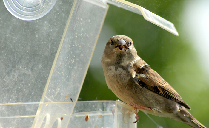 Sparrow on a window feeder looking at the camera