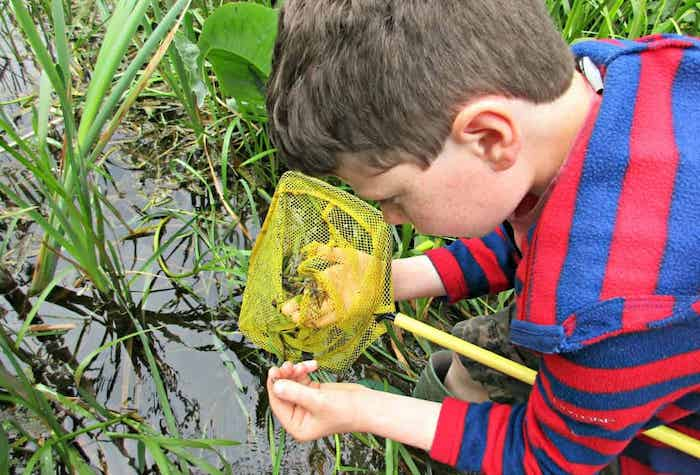 Little boy examining pond life in a net