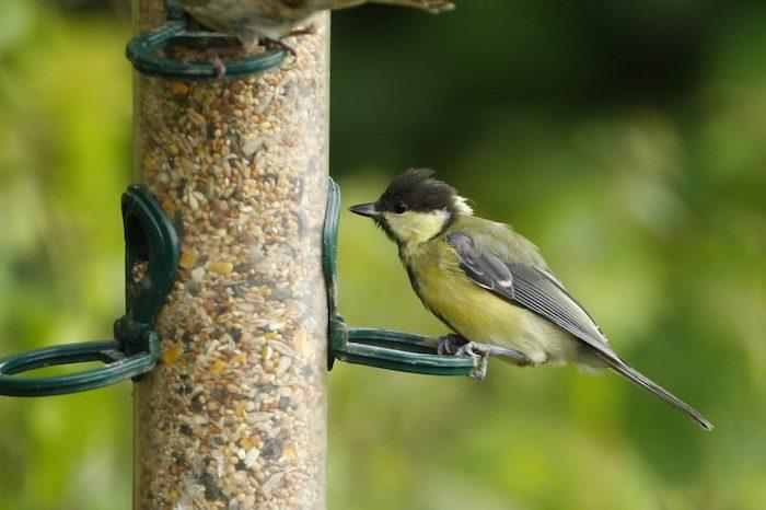 Blackcap standing on a bird feeder