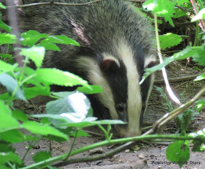 Closeup of a badger through foliage