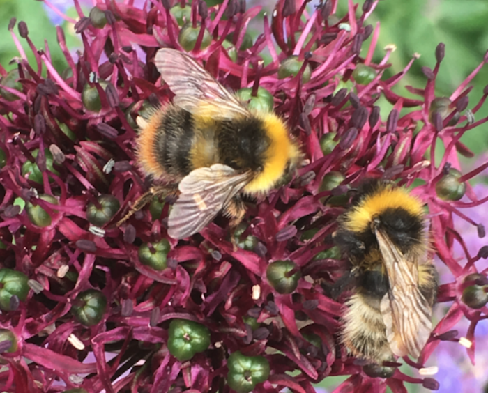 Bumblebee and forest cuckoo bee on a flower