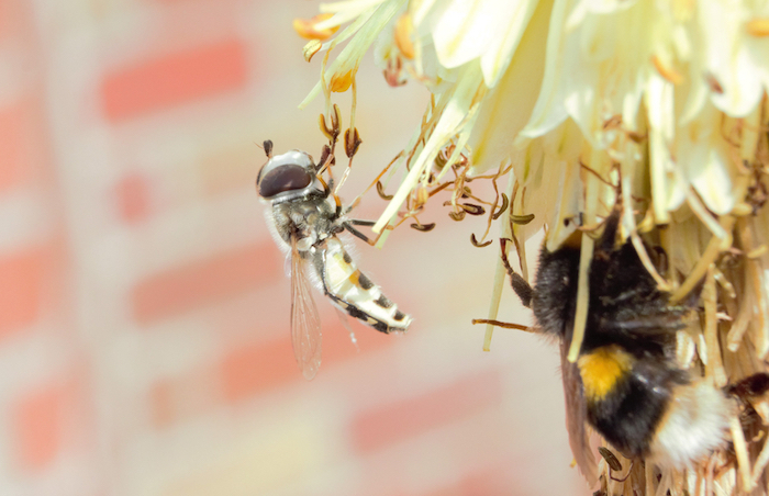 pied hoverfly on flower