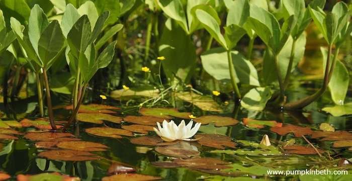 Wildlife pond with a water lily