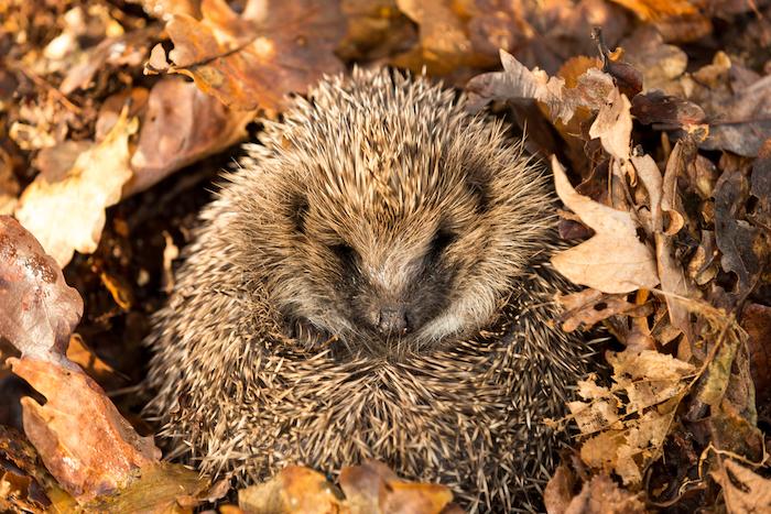 Hedgehog hibernating in leaves