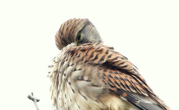 Photograph of a snoozing Kestrel