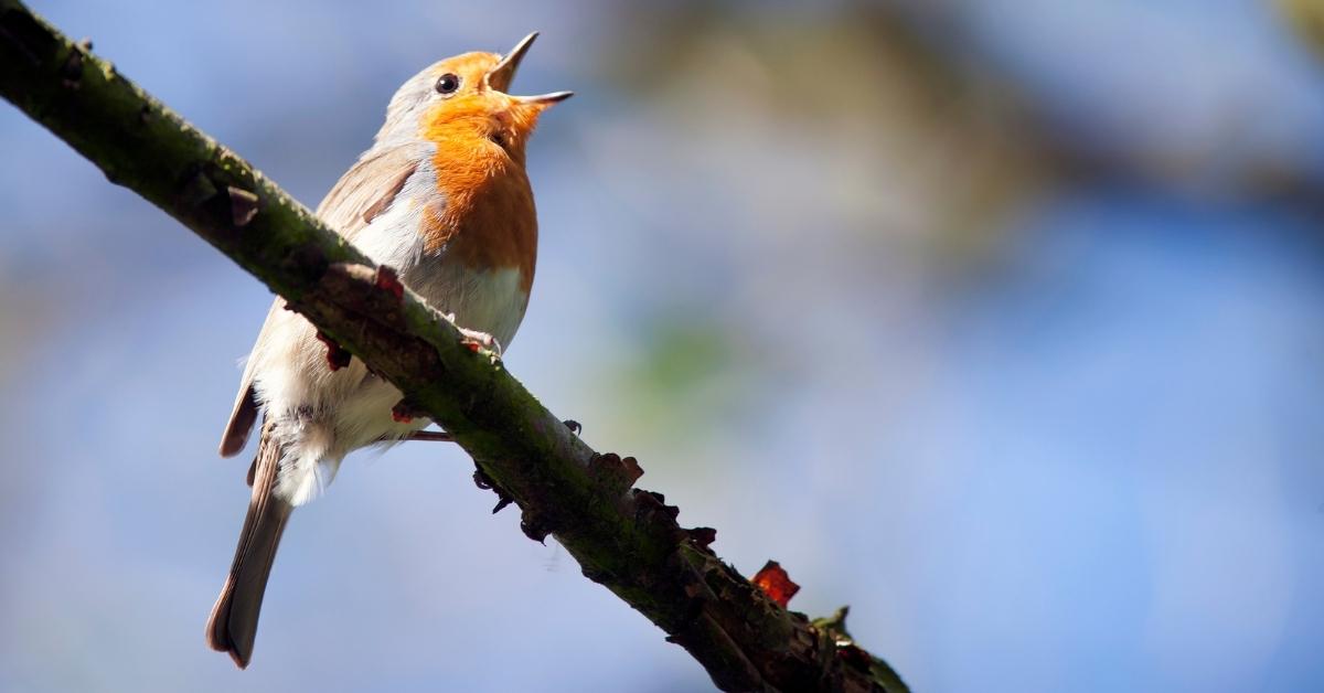 Robin - Dawn Chorus