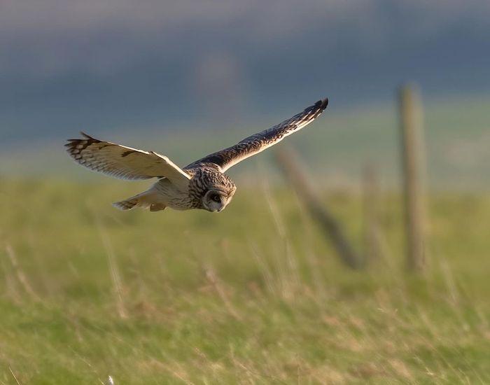Short-eared owl flying across the downs
