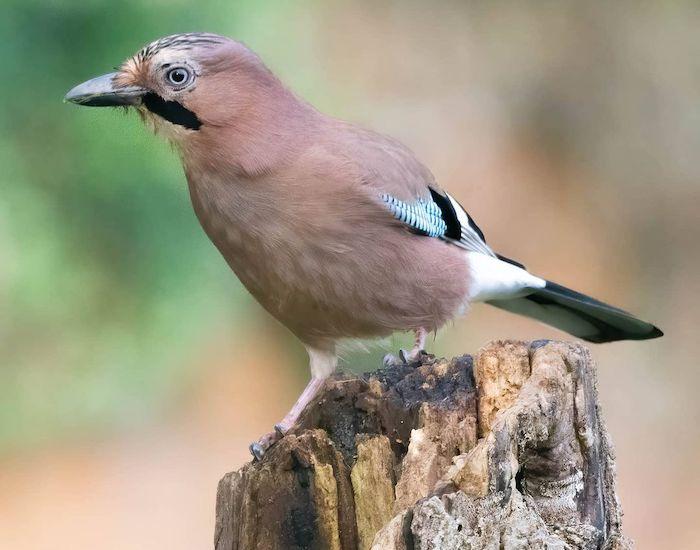 Jay bird on a log