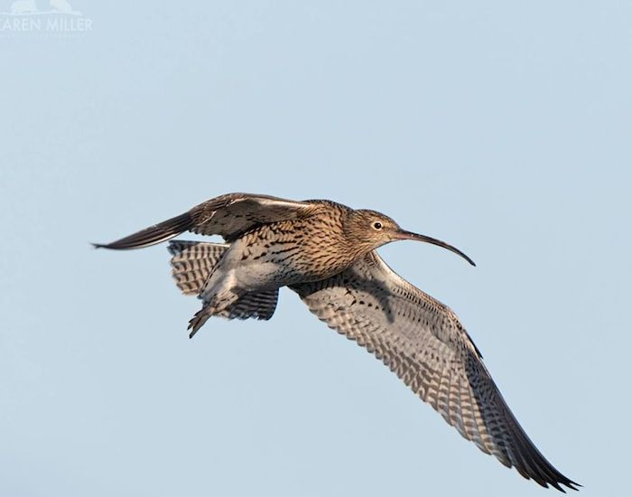 Curlew flying against blue sky