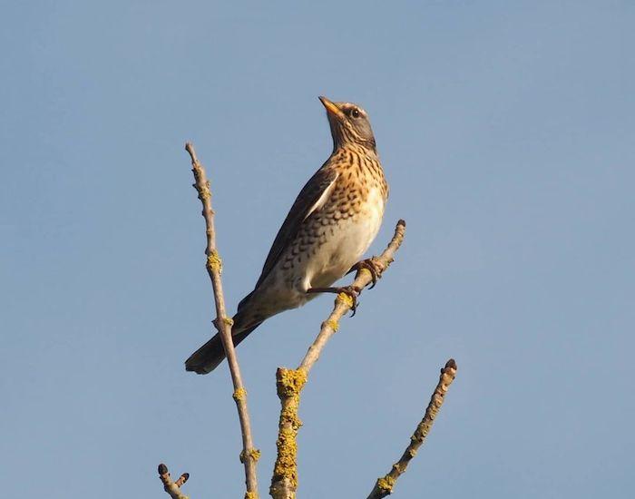 Fieldfare on a branch against blue sky