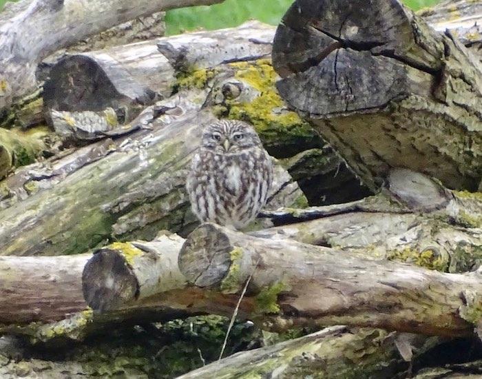 Owl hiding amongst logs