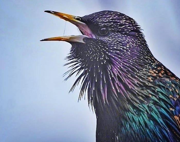 Closeup of starling