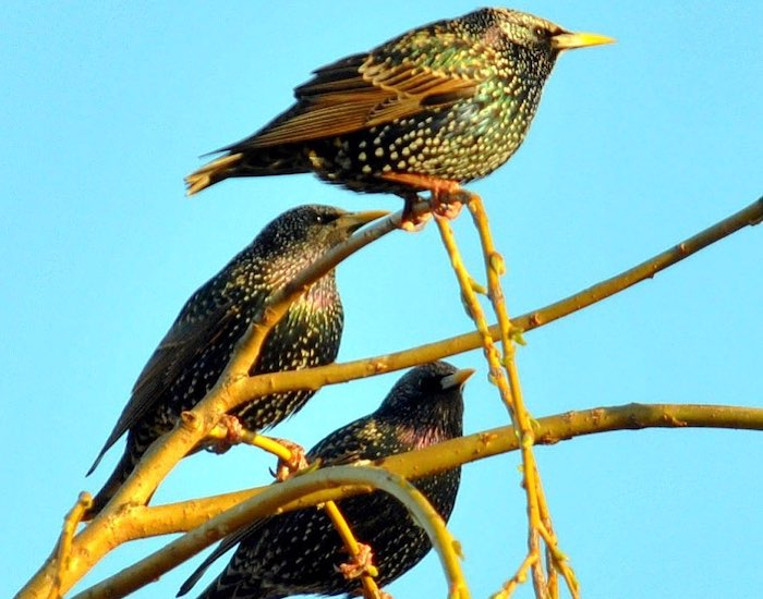 Three starlings on a branch