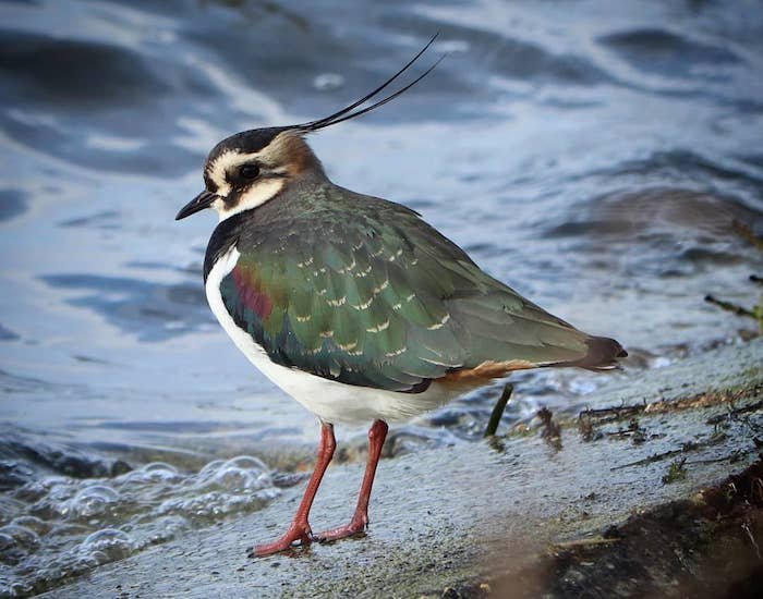 Photo of a lapwing against water