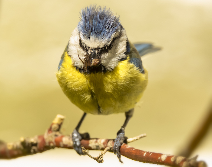 Blue tit with a insect in beak