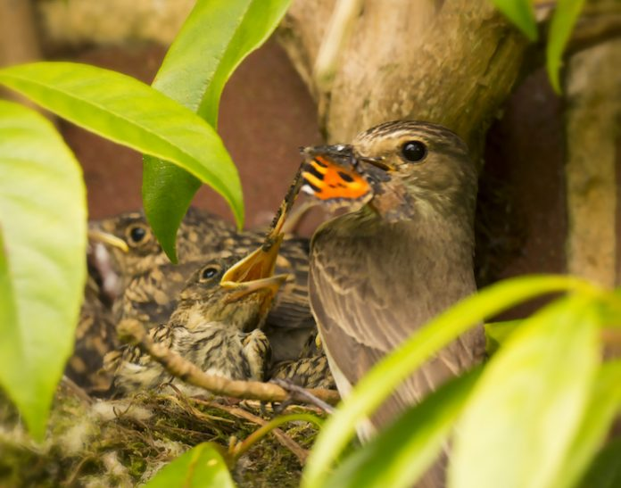 Spotted Flycatcher nestlings almost ready to fledge