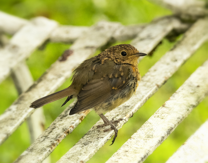 Fledgling robin on a bench