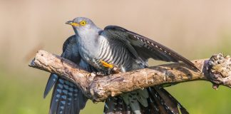 Male cuckoo on a branch